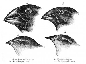Darwin's finches showing species specialisation | Image via Wikipedia